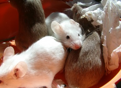 Mice were hidden in a bag in the ceiling