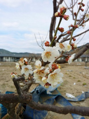 Plum tree flowers are blooming in the quake-hit Ishinomaki, Miyagi Prefecture, on April 3, 2011, about three weeks after the earthquake and tsunami disaster.
