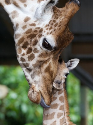 Hailey the giraffe nuzzles her newborn male calf, born at the zoo on Monday morning. Dublin Zoo has invited suggestions for the calf'