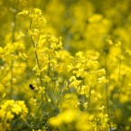 A bee collects pollen from a rapeseed crop in a field near Wells, Somerset in glorious sunshine on another dry and sunny day. (Pic: Ben Birchall/PA Images)