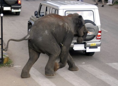 A wild elephant attacks a vehicle on a street in Mysore, in the southern Indian state of Karnataka, Wednesday, June 8, 2011.
