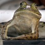 A frog looks ahead before taking a leap during a frog-jump contest in Zelienople, Pennsylvania. (AP Photo/Keith Srakocic)