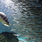 A turtle swims with sardines as part of summer vacation event at an Coex Aquarium in Seoul, South Korea, on 22 July, 2011.  (AP Photo/ Lee Jin-man)
