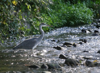 A Heron in the Tolka river in Dublin today where Salmon have returned to the once heavily polluted area.