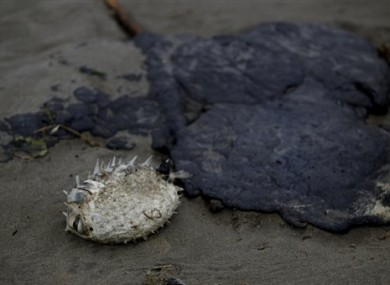 A dead fish is seen next to a chunk of fuel oil on the Mount Maunganui beach