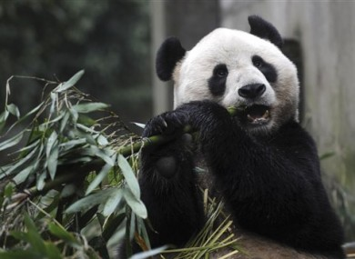 Yang Guang eats bamboo prior to a journey to Britain in Ya'an, southwest China's Sichuan Province