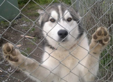 Kanute, the husky who was recovered safe and well