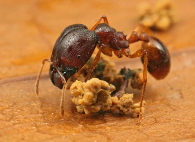 A standard-sized Pheidole ant, like this one, will usually grow to 2mm in length. The 'super-soldier' ants can be four times as big.