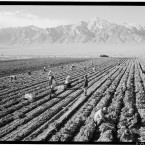 Farm workers are photographed harvesting crops. (Library of Congress, Prints & Photographs Division)