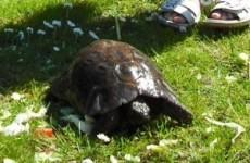 He's back! Rathgar tortoise returns home