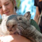 Check out those come to 'whatever the wombat equivalent of a bed is' eyes. (Christian Haugen/Flickr)