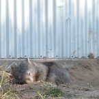 The job being looking cute, which wombats still manage to pull off effortlessly, even with their eyes closed. (zayzayem/Flickr)