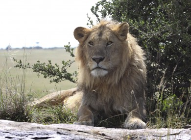 A lion, not in Essex