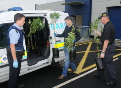 Gardaí removing cannabis plants from the grow houses.