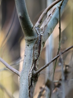 general view of a young Common Ash Tree which shows the symptoms of the deadly plant pathogen fungus.