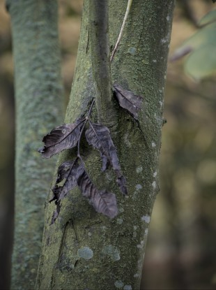 General view of an Ash tree suspected of being infected with the deadly plant pathogen fungus Chalara fraxinea dieback in Forncett End, Norfolk, England.