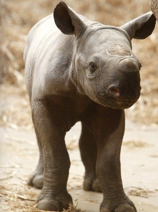 A baby black rhino at a Chester Zoo.
