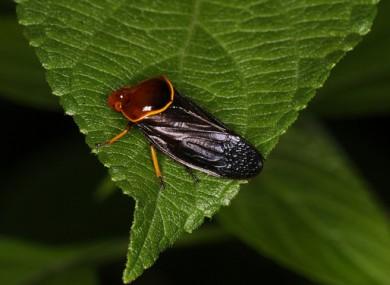 Cicada hemiptera