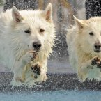 White Swiss Shepherd dogs 'Kenai', left, and 'Yasu', right, jump into the water during the dog diving competition at the International pedigree dog and purebred cat exhibition in Erfurt, central Germany. 4,000 dogs and 150 cats from 20 countries re shown at the exhibition. (AP Photo/Jens Meyer)