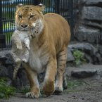 Zita, a liger (half-lioness, half-tiger) walks with her month-old liliger cub in the Novosibirsk Zoo. The cub's father is a lion, Sam. (AP Photo /Ilnar Salakhiev)