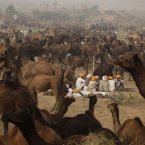 Indian camel herders sit near their camels during the annual cattle fair in Pushkar, in the western Indian state of Rajasthan. Pushkar, located on the banks of Pushkar Lake, is a popular Hindu pilgrimage spot that is also frequented by foreign tourists who come to the town for the annual cattle fair and camel races. <span class=