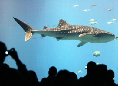 A whale shark swimming in Georgia Aquarium.