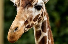 Danish zoo may kill ANOTHER healthy giraffe named Marius