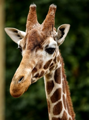 A giraffe at a zoo in the UK.