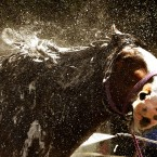 Liam Quinn from Stonehouse washes his Shire horse Lightning, ahead of the Royal Highland Show in Edinburgh which begins tomorrow and runs until Sunday.<span class=