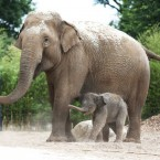 Dublin Zoo announce the arrival of a new Asian elephant calf.  Photographed by: Sasko Lazarov <span class=