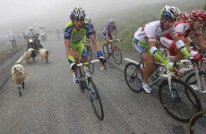 Camera-wearing sheep to film Tour de France