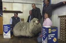 The world's woolliest sheep has finally had a haircut