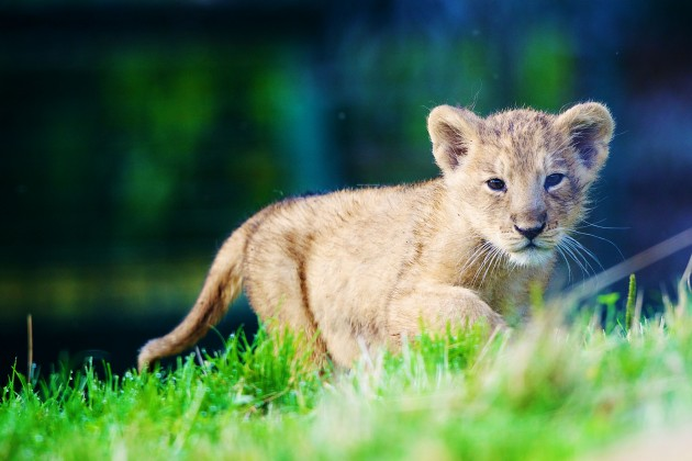 Dublin zoo has a new attraction and we re not lion