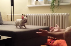 Bulldog puppy takes adorable leap of faith into his owner's arms