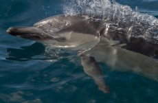 Fishermen rescue massive family of 70 dolphins beached in west Kerry