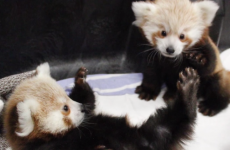 Gloriously adorable twin red panda cubs to melt your heart