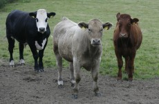 The cows are going to be very busy in Cork. Up to 60% busier, in fact