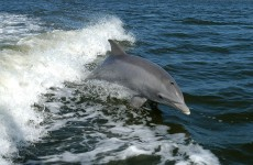 Five swimmers rescued from Galway Bay after dolphin attack