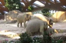 Baby elephant takes a tumble, mammy storms to the rescue