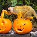 A squirrel monkey searches for Halloween treats hidden inside a pumpkin at London Zoo.<span class=