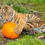 A Sumatran tiger cub licking a delicious pumpkin... <span class=
