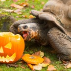 A Galapagos tortoise chomping down on a pumpkin in London Zoo.<span class=