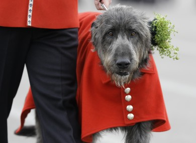 Domhnall the Irish Wolfhound wears a shamrock after being presented it by Kate, The Duchess of Cambridge during a visit to the 1st Battalion Irish Guards at the St. Patrick's Day Parade