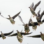 Wild geese start for a round trip at a field in Moers, Germany. The wild geese came over from Siberia to stay over winter time in the lower Rhine area with it's warmer continental climate. The geese find perfect conditions and are not allowed being hunted.<span class=