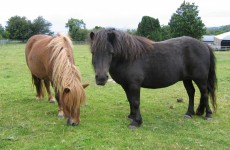 Shetland ponies being being left to fend for themselves in fields and front gardens