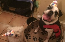 Look at these dogs' birthday faces. LOOK AT THEM