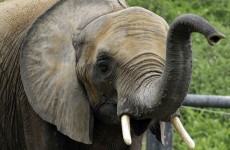 Man attacked and killed by escaped elephant in Germany
