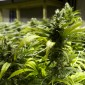Poor storage facilities at garda stations leave them 'stinking' of cannabis for days