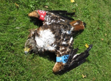 An image of the red kite found by the NPWS ranger.