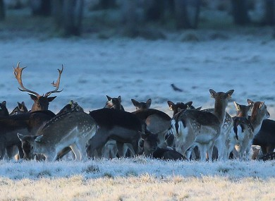 Deer in the Phoenix Park in January: a severe frost is expected tonight.